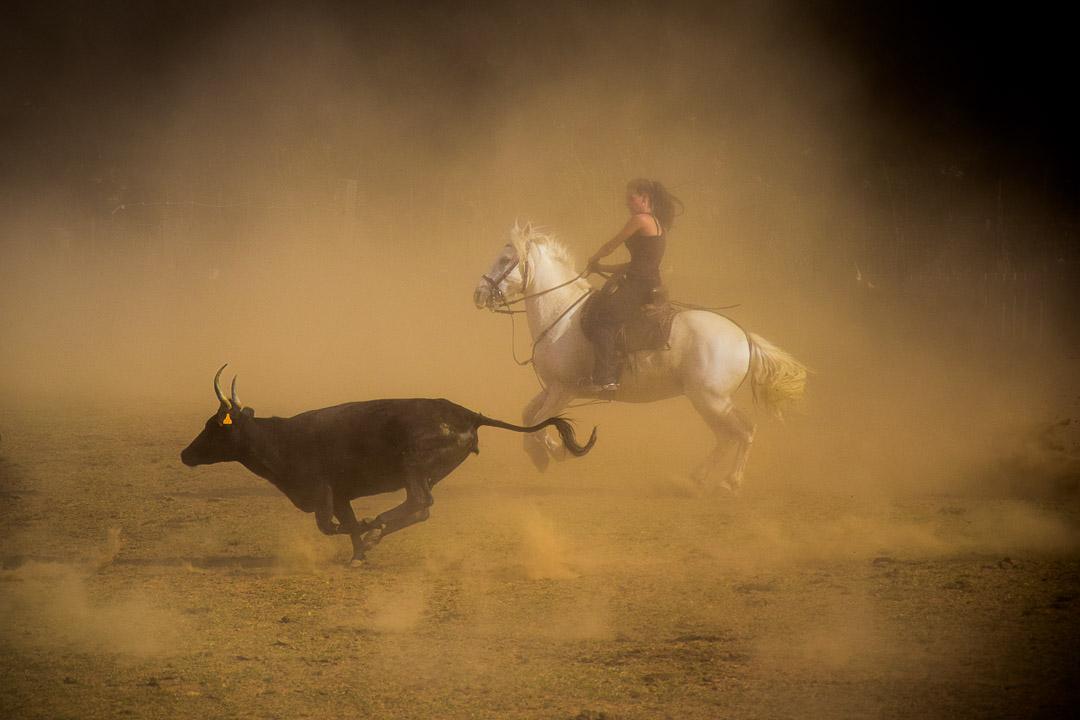 photo reportage en Camargue (30) : la gardiane tri les taureaux à cheval
